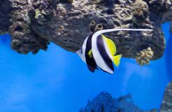 Reef banner fish. stock images