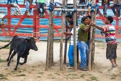 Popular bullfights (Toros de Pueblo) Royalty Free Stock Photography