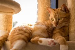 Cat Cafe Tabby Relaxing In Sun. Popular Cat Cafes in Japan where people go to drink tea and coffee and enjoy the company of cats, this orange tabby relaxes in Stock Photo