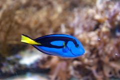 Regal blue tang, palette surgeonfish, or hippo tang, an Indo-Pacific surgeonfish of Paracanthurus hepatus species. A popular coral reef fish in marine aquaria Stock Photography