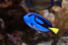 Regal blue tang, palette surgeonfish, or hippo tang, an Indo-Pacific surgeonfish of Paracanthurus hepatus species. A popular coral reef fish in marine aquaria Stock Photos