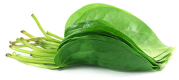 Popular edible betel leaves royalty free stock images