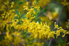 Popular in Europe shrub forsythia blooms beautiful yellow gold flowers Sunny spring day in the Park. Flowering forsythia in springtime. Forsythia - genus of royalty free stock image