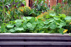 Raised garden bed with flowers and vegetable plants. Popular flowers and vegetable plants on the raised garden bed Royalty Free Stock Photo