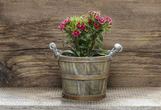 A popular fragrant biennial garden plant, Sweet William Royalty Free Stock Image