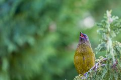 Popular New Zealand bird in nature forest. Stock Photos