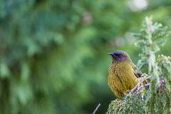 Popular New Zealand bird in nature forest. Royalty Free Stock Photography