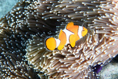A popular orange and white aquarium fish known as Clown Anemonefish Stock Photography