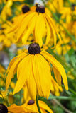 The popular ornamental plant Rudbeckia fibrous  lat. Rudbeckia. Rudbeckia fibrous lat. Rudbeckia Hirta. A popular ornamental plant. Flowers closeup Stock Images
