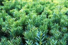 Popular ornamental plants green juniper. It can be used as a background close - up royalty free stock photography