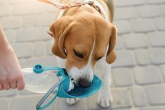 Popular Pet Dog Beagle Drinks Water Royalty Free Stock Images