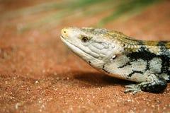 Popular pet gecko, gecko a night active lizard stock images