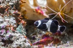 Popular but rare black and white banded clown fish, tropical fish that only lives in the Darwin region of Australia royalty free stock photography