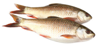 Popular Rohu or Rohit fish of Indian subcontinent Royalty Free Stock Photo