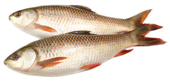 Popular Rohu or Rohit fish of Indian subcontinent Stock Images