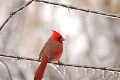Popular State Bird Royalty Free Stock Photos