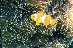 Popularna pomarańcze i bielu akwarium ryba znać jako błazen Anemonefish Fotografia Stock