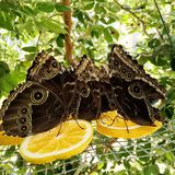 Population of Blue Morpho Butterflies Eating Orange Slices. A population of adult blue morpho butterflies eating orange slices. Their wings are upright so the stock images