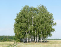 A Population of Birches. A simple image of a group of birches Royalty Free Stock Photography