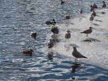 The population of cormorants in the blue water. In winter royalty free stock photos
