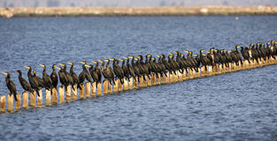 Population de grands cormorans sur des rondins Photo stock