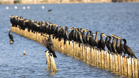 Population de grands cormorans sur des rondins Photo libre de droits