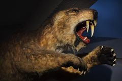 populator Sable-dentado de Smilodon del tigre imagen de archivo libre de regalías