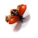 Populi de Chrysomela, besouro de folha vermelho do poplar Fotografia de Stock