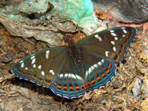 Populi do Limenitis da borboleta. fotografia de stock