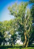Populier op een weide in de zomer op een zonnige dag stock foto's