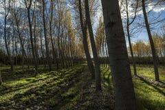 Populierbomen Stock Afbeeldingen
