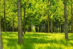 Populierbomen en wit stuifmeel in een bos in de lente stock foto's