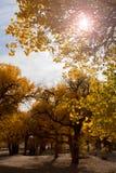 Populierbomen met gele bladeren in de herfstseizoen Royalty-vrije Stock Foto