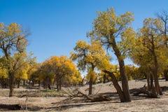 Populierbomen met gele bladeren in de herfstseizoen Stock Foto's