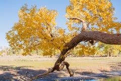 Populierbomen met gele bladeren in de herfstseizoen Stock Afbeelding