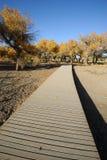 Populierbomen met weg in de herfst Stock Foto's