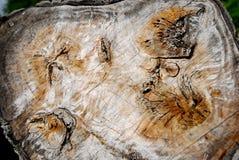 Populierboomstam gelijkend op een kaart op de Berici-heuvels in de provincie van Vicenza in Veneto (Italië) Stock Foto