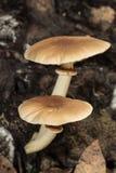 Populierpaddestoel, fluweelpioppini, Cyclocybe-aegerita royalty-vrije stock foto's