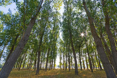 Populous forest. View of a Populous forest with morning sunbeams of light Stock Photos