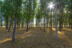 Populous forest. View of a Populous forest with morning sunbeams of light Royalty Free Stock Photography