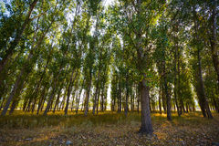 Populous forest. View of a Populous forest with morning sunbeams of light Royalty Free Stock Images