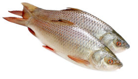 Populär Rohu eller Rohit fisk av den indiska subcontinenten Royaltyfria Bilder