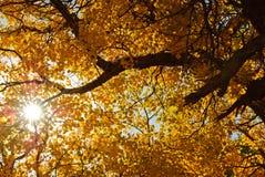 Populus in autumn Stock Image