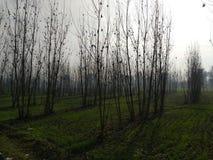 Populus ciliata stock photos