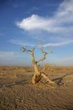Populus dans le désert photo libre de droits