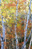 Populus davidiana and White Birch Stock Photos