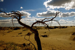Populus dead in the desert. Royalty Free Stock Photo