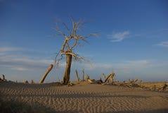 Populus in desert Stock Image
