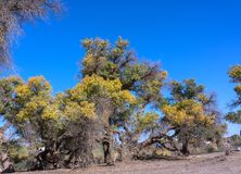 Populus euphratica. The Populus in the desert is growing stubbornly Royalty Free Stock Photos