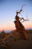 Populus diversifolia Lizenzfreie Stockfotografie